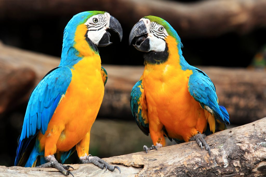 Couple blue-and-yellow macaws (Ara ararauna) sitting on log